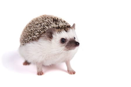 A pet hedgehog on an isolated white background Stock Photo