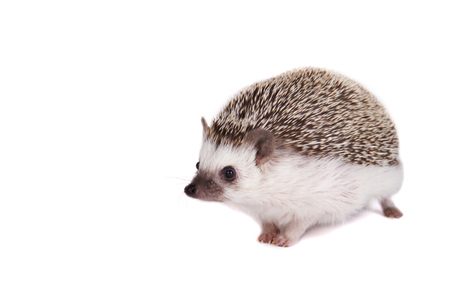 A sitting pet hedgehog on an isolated white background