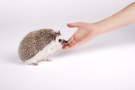 A pet hedgehog eating food from a child's hand on a white background