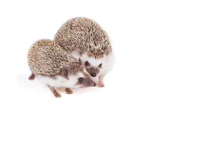 Two pet hedgehogs snuggling on an isolated white background Stock Photo