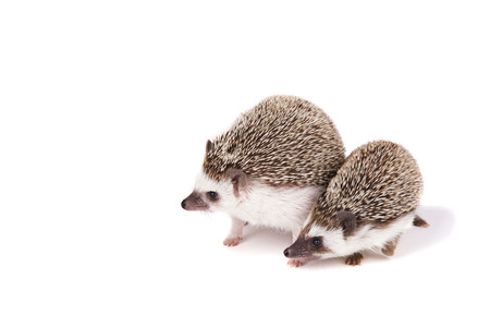 Two pet hedgehogs on an isolated white background Foto de archivo