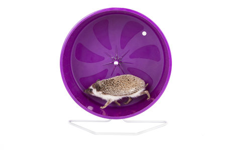 A hedgehog running on an exercise wheel on an isolated white background