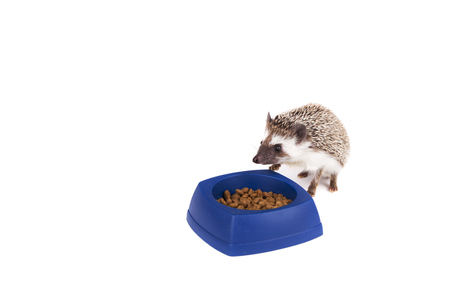 One hedgehog eating cat food out of a dish, on an isolated white background