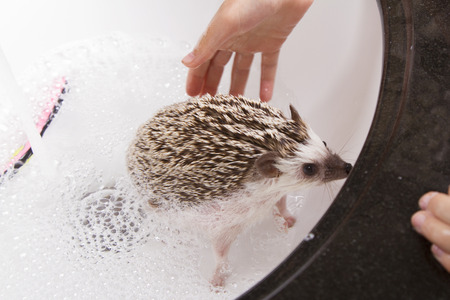 Giving a pet hedgehog a bath, filling the sink with soapy water to clean the hedgehog
