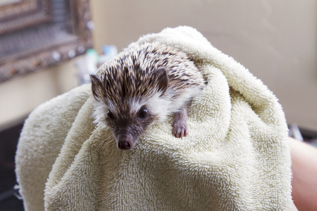 Drying a pet hedgehog off after giving it a bath Foto de archivo