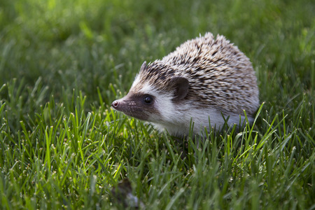 A young hedghog outside in the grass Stock Photo