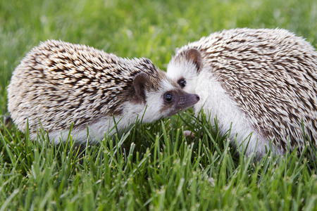 Two hedgehogs outside in the grass