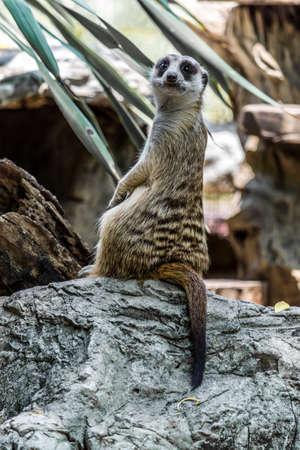 naughty: Naughty Meerkat