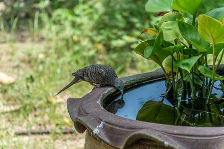 thirsty bird: Spottednecked Dove drink water