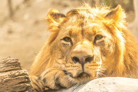 Young Mighty Handsome Lion Rest