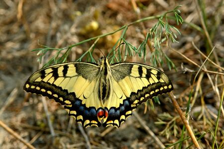 machaon: Butterfly, Papilio machaon                                Stock Photo