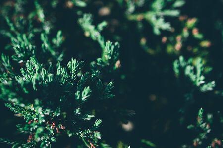 Christmas background. Green fir tree. Foto de archivo