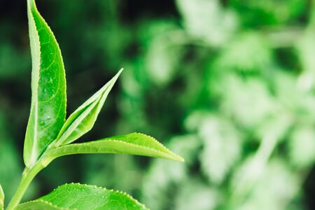 Green tea leaves in a tea plantation in morning. Macro photography.