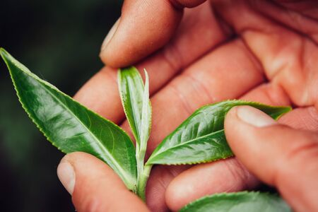 Hand Holding Green Leaves of Tea macro photography close up.