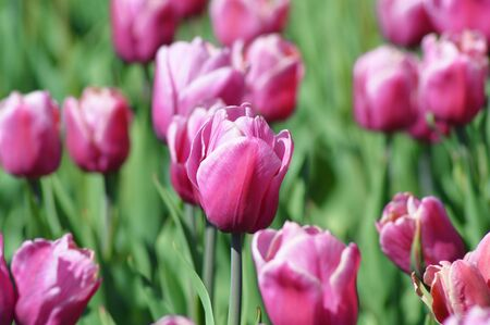 day flowering: Flowerbed flowering tulips spring sunny day