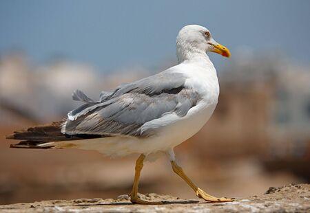 seagull Stock Photo - 527673
