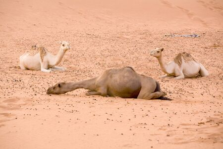 Three Camels in the Desert  sand dune Stock Photo - 1639165