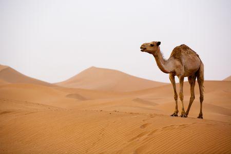 Lone Camel in the Desert  sand dune Stock Photo - 2246671