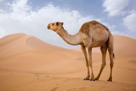 Lone Camel in the Desert  sand dune with blue sky photo