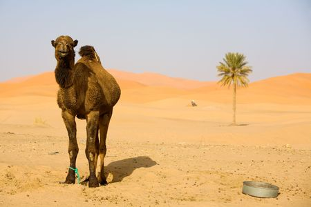 Lone Camel in the Desert sand dune and palm Stock Photo - 3047772