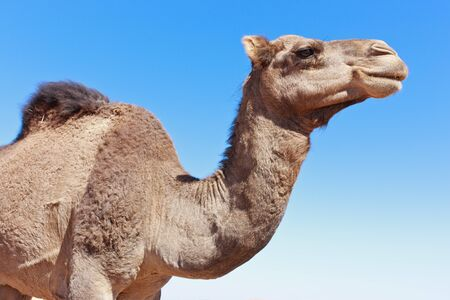 camel: Lone Camel in the Desert with blue sky