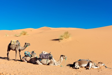 Three camels on sand dunes photo