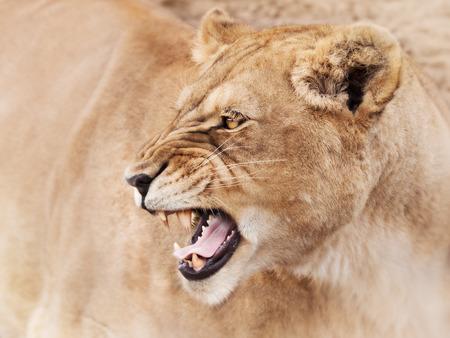 Furious lioness 스톡 콘텐츠