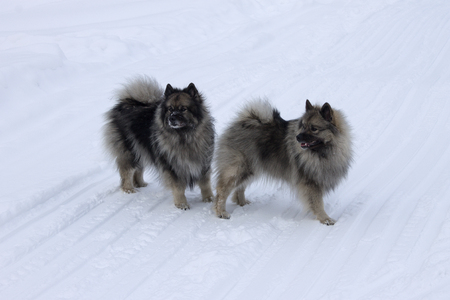 Dogs of the breed Keeshond, Wolfspitz in winter on the snow walk together Stock Photo