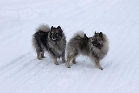 Honden van het ras Keeshond, Wolfspitz lopen in de winter samen op de sneeuw Stockfoto