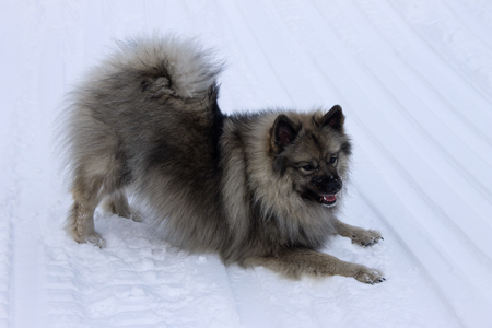 Dog of the breed Keeshond, Wolfspitz winter in the snow play Stock Photo