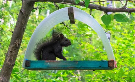 The squirrel feeds on nuts in a trough suspended on a tree