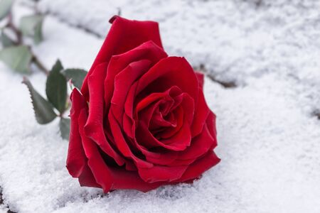 A close-up of a red rose bud lies in the cold snow in winter Foto de archivo