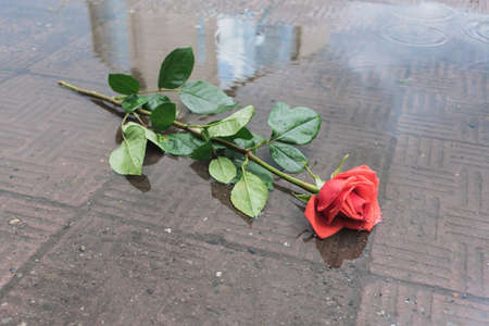 A rose thrown onto the road lies in a puddle in the rain