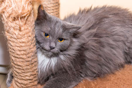 A fluffy gray cat with bright and expressive yellow eyes lies on its bed