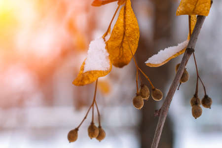 Seeds and dry leaves of linden tree in the snow illuminated by the bright sun