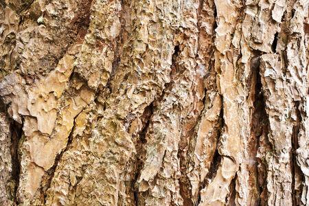 rubella: Bark of Pine Tree  Stock Photo