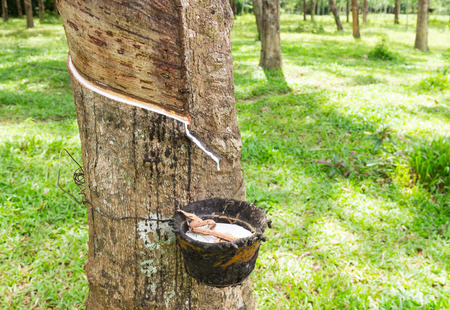 east asia: Rubber plantation, South East Asia Stock Photo