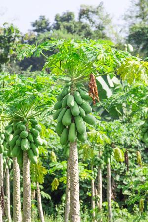 fresh papaya tree with bunch of fruits photo