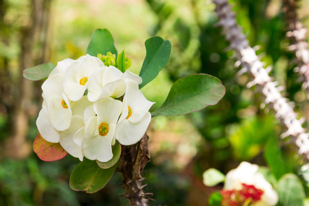 Euphorbia milii (Crown-of-thorns or Christ Plant) photo