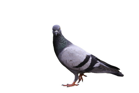 legs around: A pigeon is walking in the isolated white background