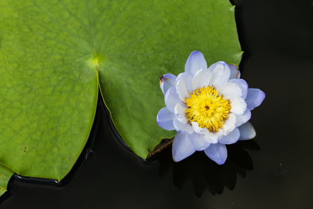 A small blue lotus with a big leaf photo