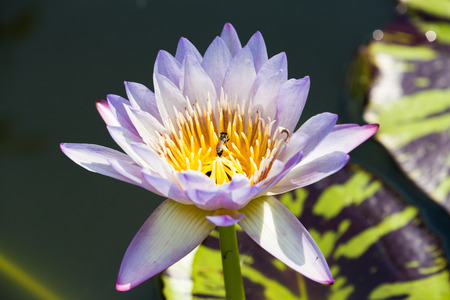 A light purple lotus in a fresh air photo