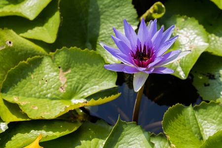 big leafs: The big purple lotus with its green leafs