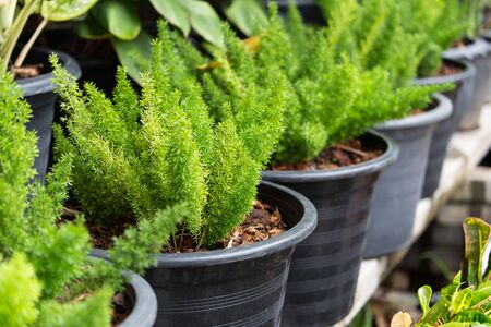 seed pots: Ferns are growing in black pots which filled inside by soil Stock Photo