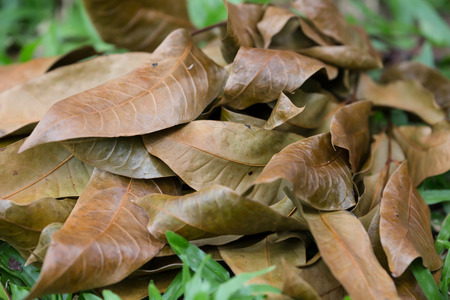 dying: Brown dying leaves on the grass floor
