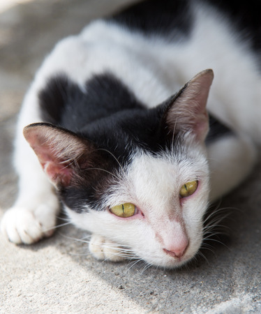 somnolent: Cat in white and black is using bright yellow eyes look straight.
