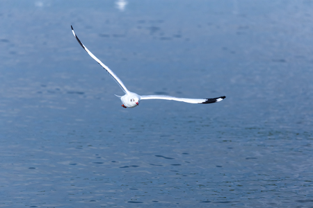 winter escape: Big seagull fly over the blue water