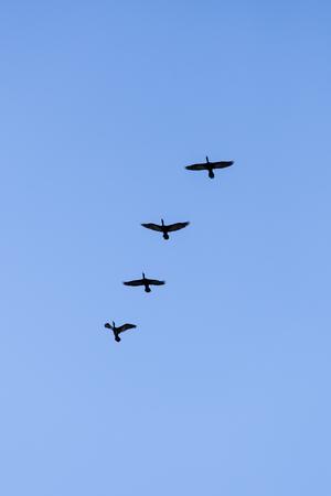 bandada pajaros: Silueta de cuatro pájaros de vuelo en el cielo azul claro