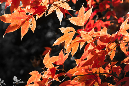 phukradueng: Maple red leaf with sunlight in front of dark background during winter season in Phukradueng national park in Loei of Thailand.