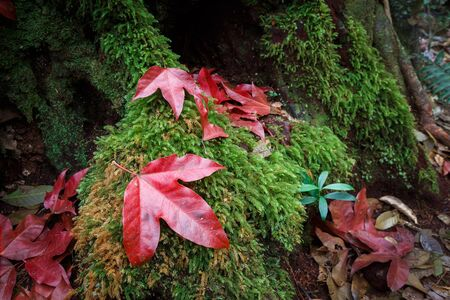 phukradueng: Focusing on the big red maple drop down onto a big root of tree which covered by green moss. They are inside Phukradueng national park in Loei province of Thailand. Maple turned to red in winter.